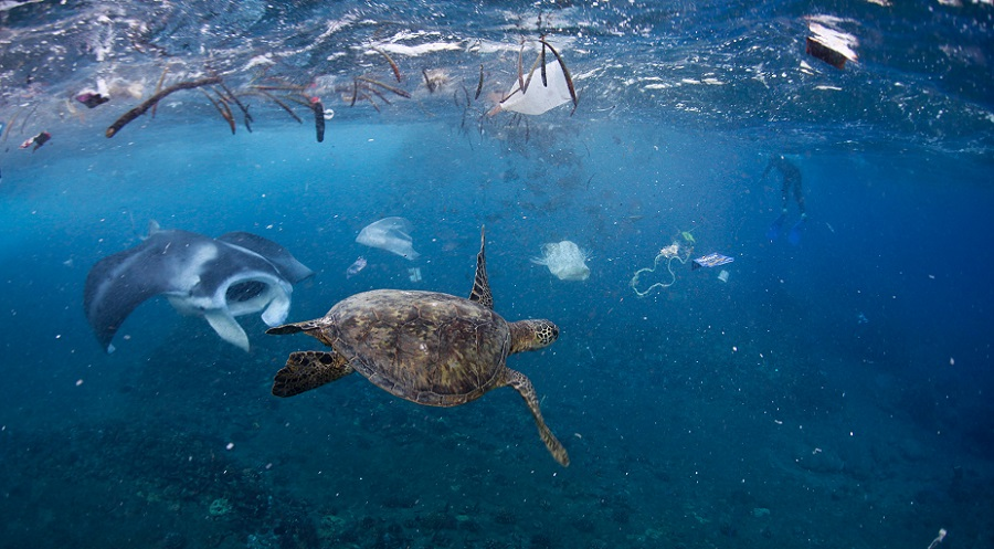 Manta ray and turtle swimming amongst all the plastic off of Oahu